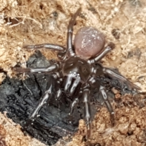 Unidentified Trapdoor, Funnelweb & Mouse spider (Mygalomorphae) (TBC) at suppressed by tpreston