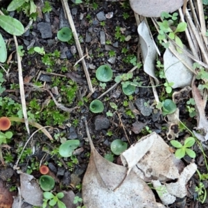 Corysanthes incurva (Slaty helmet orchid) at suppressed by CathB