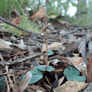 Acianthus collinus (Inland mosquito orchid) at Aranda Bushland by CathB
