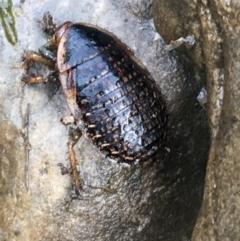 Calolampra sp. (genus) (Bark cockroach) at Burra, NSW - 14 Jun 2021 by Ned_Johnston