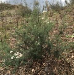 Cassinia longifolia (Shiny Cassinia, Cauliflower Bush) at Burra, NSW - 14 Jun 2021 by Ned_Johnston