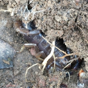 Urodacus manicatus (Black Rock Scorpion) at Googong Foreshore by Ned_Johnston
