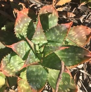 Aloe sp. at Dryandra St Woodland by Ned_Johnston