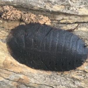Laxta granicollis (Common trilobite cockroach, bark cockroach) at Black Mountain by Ned_Johnston