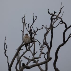 Falco cenchroides (Nankeen Kestrel) at Callum Brae by alexandria1994