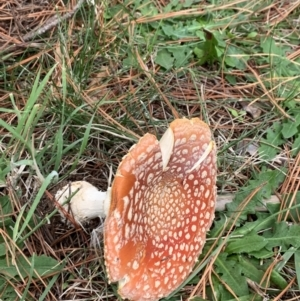 Amanita muscaria (TBC) at suppressed by Wendyp5