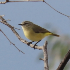 Acanthiza chrysorrhoa (Yellow-rumped Thornbill) at Hume, ACT - 14 Jun 2021 by RodDeb