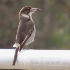Cracticus torquatus (Grey Butcherbird) at Hume, ACT - 14 Jun 2021 by RodDeb