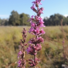 Lythrum salicaria (Purple Loosestrife) at Isabella Plains, ACT - 4 Apr 2021 by michaelb