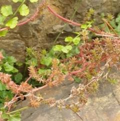 Crassula sieberiana (Austral Crassula) at Goulburn, NSW - 15 Jun 2021 by Rixon