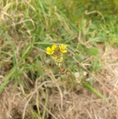 Hirschfeldia incana (Buchan Weed, Yellow Turnip Weed, Hairy Brassica) at Goulburn, NSW - 15 Jun 2021 by Rixon