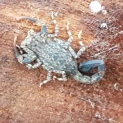 Lychas marmoreus (Marbled Scorpion) at Gungaderra Grasslands - 15 Jun 2021 by tpreston