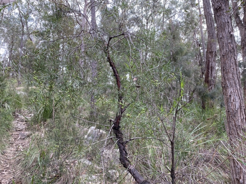Persoonia linearis at Mittagong, NSW - 14 Jun 2021