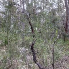 Persoonia linearis (Narrow-leaved Geebung) at Mittagong, NSW - 14 Jun 2021 by GlossyGal
