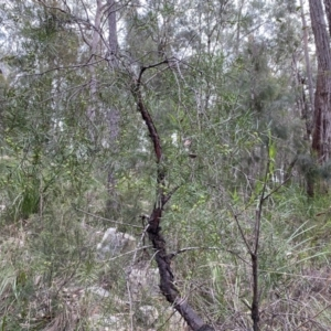 Persoonia linearis (Narrow-leaved Geebung) at Mittagong, NSW by GlossyGal