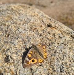 Junonia villida (Meadow Argus) at Red Hill, ACT - 16 Jun 2021 by RangerJim