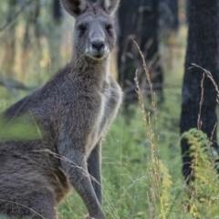 Macropus giganteus (Eastern Grey Kangaroo) at Wingecarribee Local Government Area - 27 Apr 2021 by Aussiegall