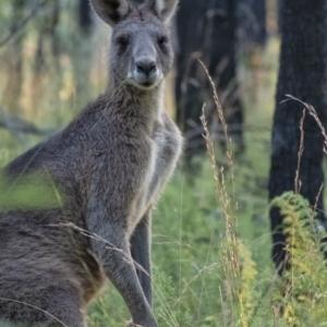 Macropus giganteus (Eastern Grey Kangaroo) at Wingecarribee Local Government Area by Aussiegall