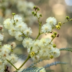Acacia terminalis (Sunshine Wattle) at Wingecarribee Local Government Area - 25 Apr 2021 by Aussiegall