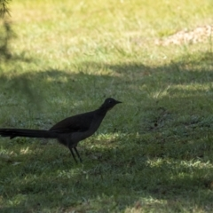 Menura novaehollandiae (Superb Lyrebird) at Penrose, NSW - 27 Apr 2021 by Aussiegall