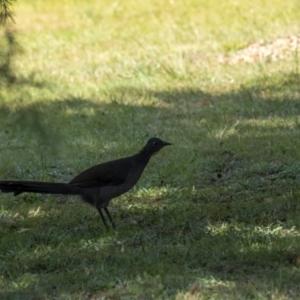Menura novaehollandiae (Superb Lyrebird) at Penrose, NSW by Aussiegall
