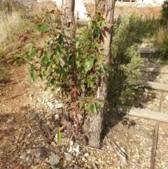 Eucalyptus sp. (A gum tree) at Goulburn, NSW - 16 Jun 2021 by Rixon