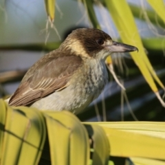 Cracticus torquatus (Grey Butcherbird) at Molonglo Valley, ACT - 15 Jun 2021 by RodDeb