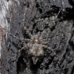 Tamopsis sp. (genus) (Two-tailed spider) at Downer, ACT - 28 May 2021 by TimL