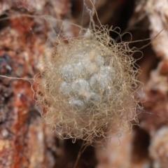 Australomimetus sp. (genus) (Unidentified Pirate spider) at Acton, ACT - 15 Jun 2021 by TimL
