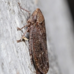 Unidentified Leafhopper & planthopper (Hemiptera, several families) (TBC) at Acton, ACT - 15 Jun 2021 by TimL