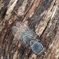 Calliphora sp. (genus) (TBC) at Aranda, ACT - 17 Jun 2021 by tpreston