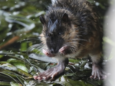 Hydromys chrysogaster (Rakali or Water Rat) at Belconnen, ACT - 14 Jun 2021 by AlisonMilton