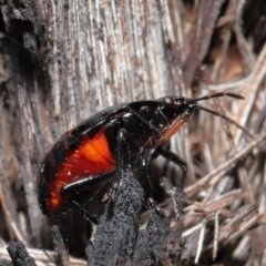 Choerocoris paganus (TBC) at Acton, ACT - 25 May 2021 by TimL