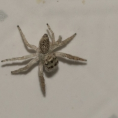 Opisthoncus grassator (Jumping spider) at Higgins, ACT - 2 May 2021 by AlisonMilton