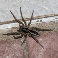 Unidentified Other hunting spider (TBC) at Higgins, ACT - 8 May 2021 by AlisonMilton