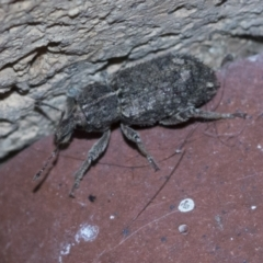 Unidentified Weevil (Curculionoidea) (TBC) at Higgins, ACT - 1 May 2021 by AlisonMilton