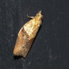 Epiphyas postvittana (Light Brown Apple Moth) at Higgins, ACT - 1 May 2021 by AlisonMilton