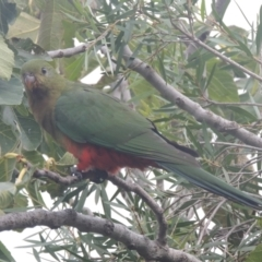 Alisterus scapularis (Australian King-Parrot) at Conder, ACT - 27 Mar 2021 by michaelb