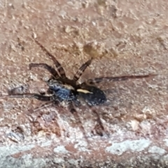 Zoridae sp. (family) (Unidentified Wandering ghost spider) at Lyneham, ACT - 18 Jun 2021 by tpreston