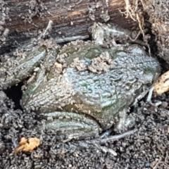 Limnodynastes tasmaniensis (Spotted Grass Frog) at Lyneham, ACT - 18 Jun 2021 by tpreston