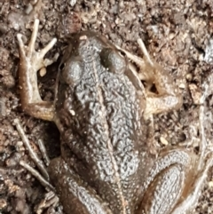 Limnodynastes tasmaniensis (Spotted Grass Frog) at Bruce, ACT - 18 Jun 2021 by tpreston