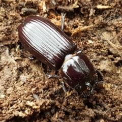 Unidentified Darkling beetle (Tenebrionidae) (TBC) at Bruce, ACT - 18 Jun 2021 by tpreston