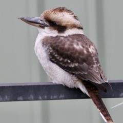 Dacelo novaeguineae (Laughing Kookaburra) at Springdale Heights, NSW - 18 Jun 2021 by PaulF