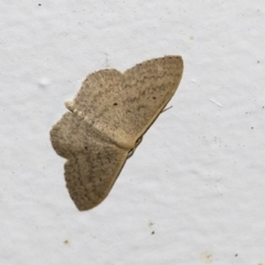 Scopula optivata (Varied Wave) at Higgins, ACT - 10 May 2021 by AlisonMilton