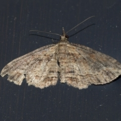 Larentiinae (subfamily) (A geometer moth) at Higgins, ACT - 10 May 2021 by AlisonMilton