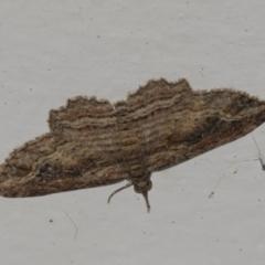 Chloroclystis filata (Filata Moth, Australian Pug Moth) at Higgins, ACT - 3 Jun 2021 by AlisonMilton
