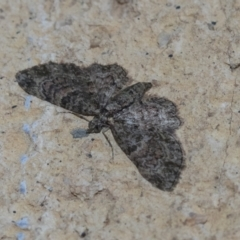 Chloroclystis filata (Filata Moth, Australian Pug Moth) at Higgins, ACT - 1 May 2021 by AlisonMilton