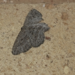 Ectropis (genus) immature (TBC) at Higgins, ACT - 7 May 2021 by AlisonMilton