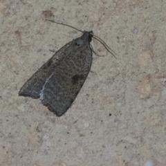 Meritastis polygraphana (Mottled Bell Moth) at Higgins, ACT - 7 May 2021 by AlisonMilton