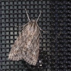 Chlenias banksiaria group (A Geometer moth) at Higgins, ACT - 6 May 2021 by AlisonMilton